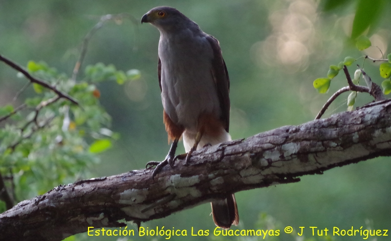 Bicolored Hawk Copiar
