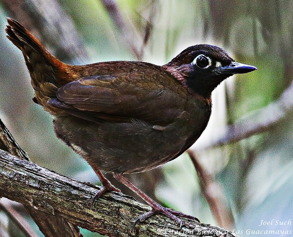 Black faced antthrush