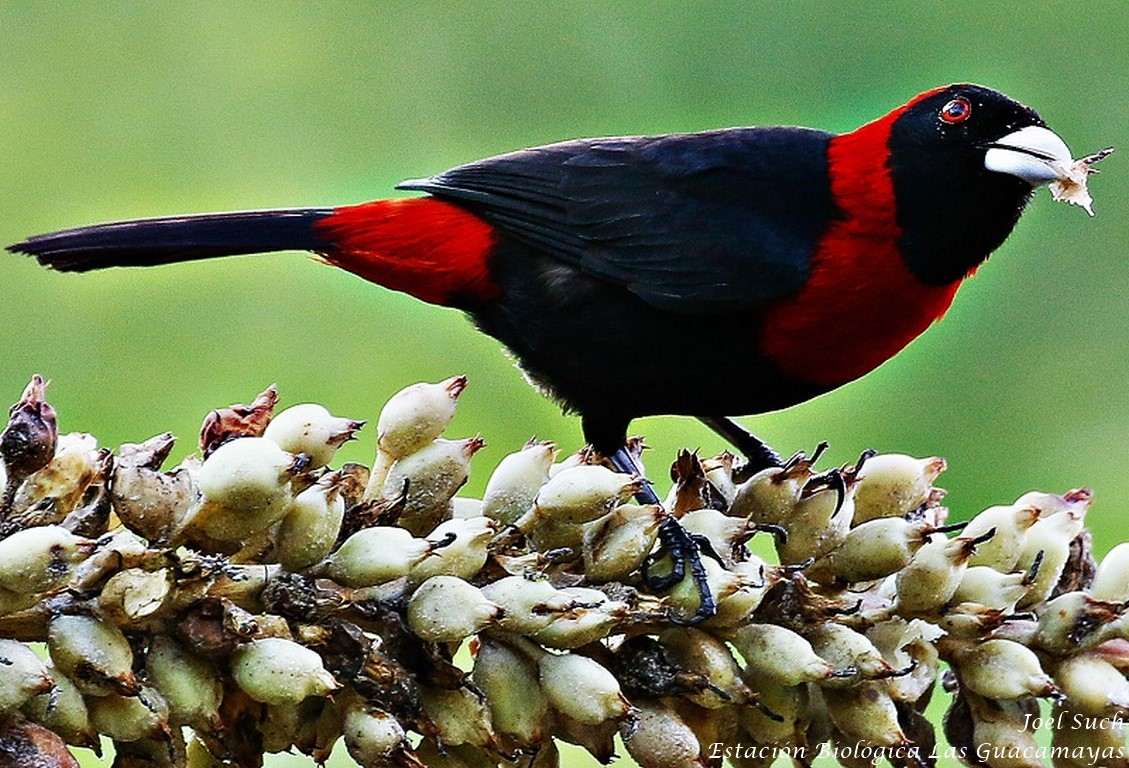 Crimson collared Tanager guacamayas