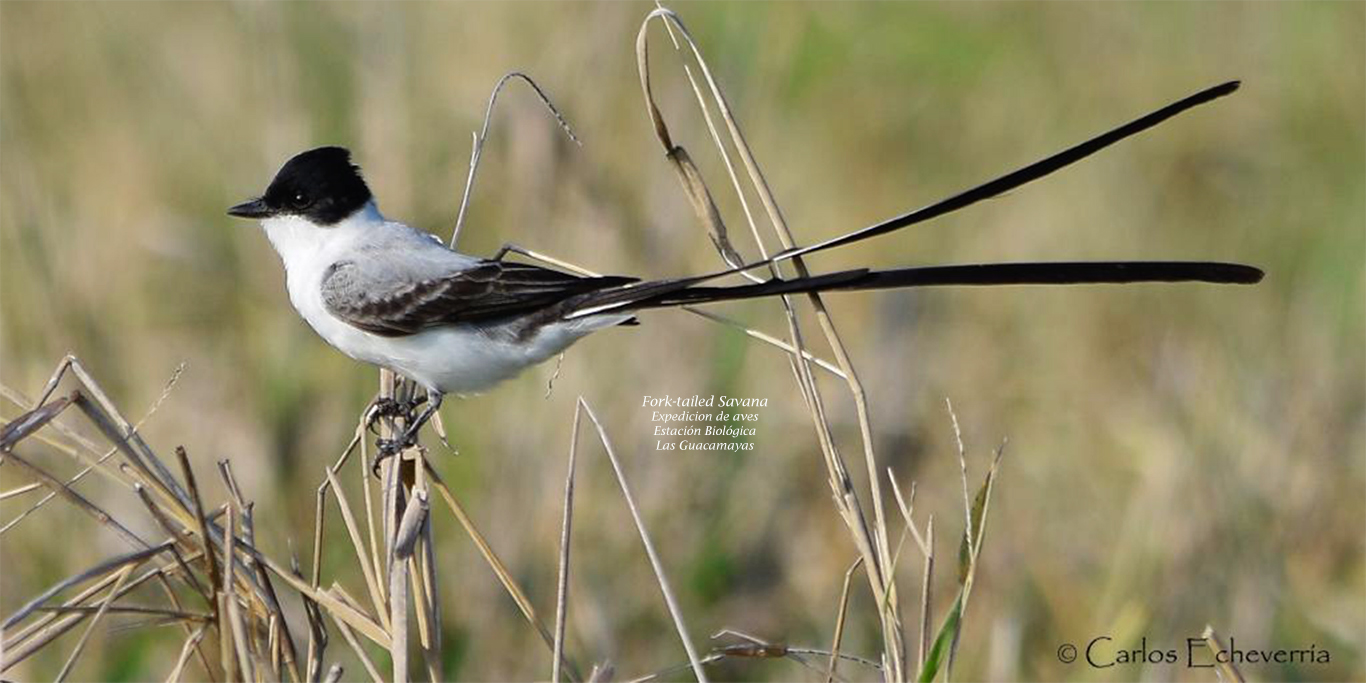Fork tailed Flycatcher