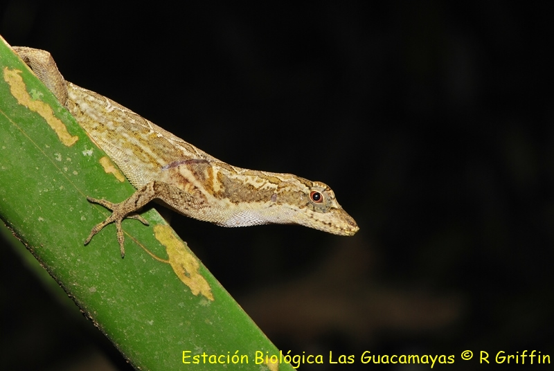 Norops capito Long legged anole Abaniquillo patuda. Copiar