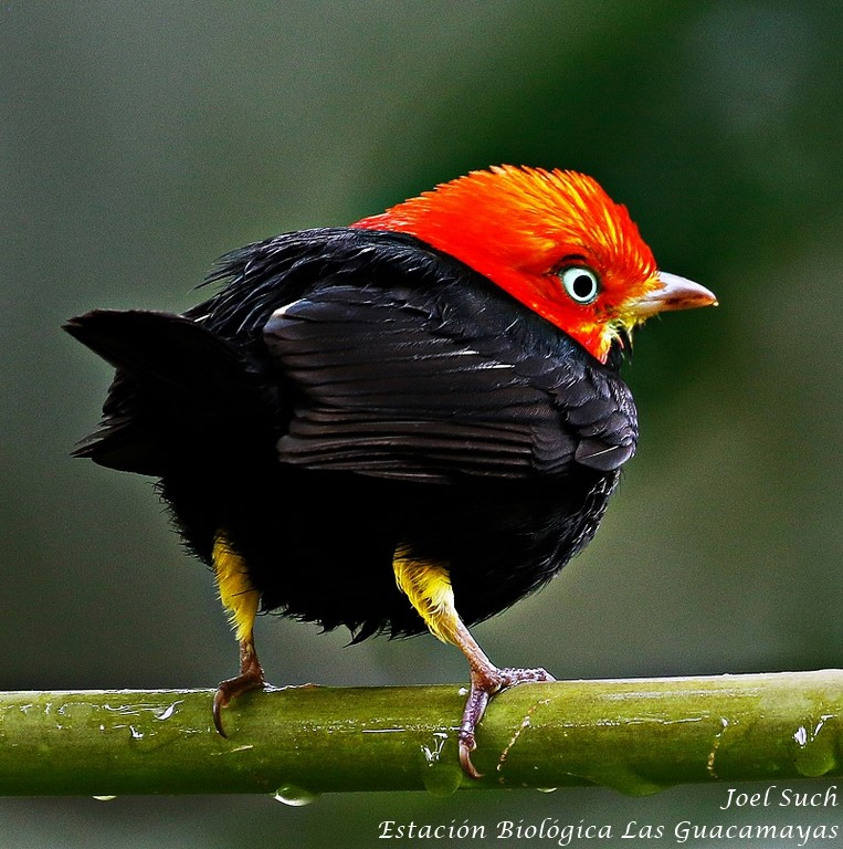 Red capped Manakin guacamayas
