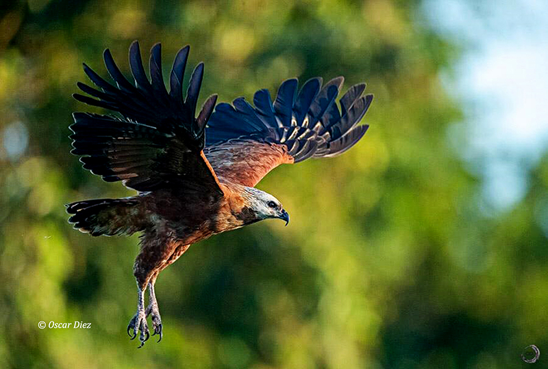 Collared black Hawk
