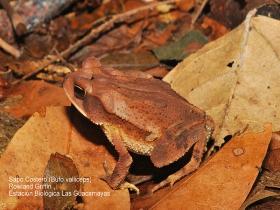 Incilius-valliceps