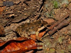 Leptodactylus melanolotus
