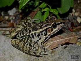 Rana Leopardo de Berlandier