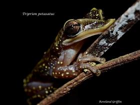Triprion-petasatus
