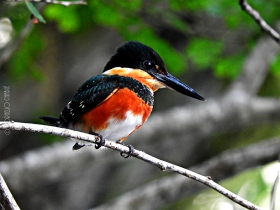 American-pigmy  Kingfisher