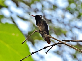 Black-crested Coquett
