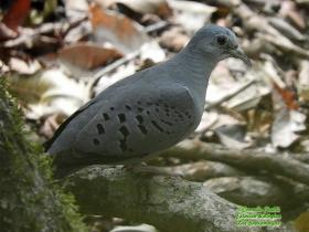 Blue Ground Dove-estacion-biologica-las-guacamayas