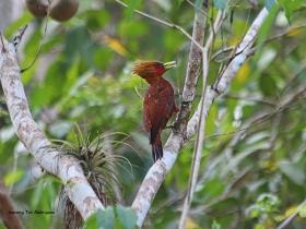 Chesnut-colored Woodpecker