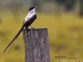 Fork-tailed-Flycatcher