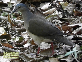 Gray-headed Dove-estacion-biologica-las-guacamayas