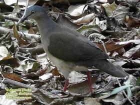 Gray-headed Dove-estacion-biologica-las-guacamayas