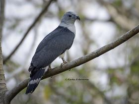 Gray-Header Kite
