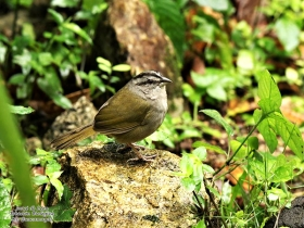 Green- Backed Sparrow