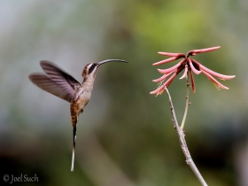 Long-billed-Hermit