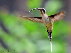 Long-billed Hermit-Phaethornis longirostris