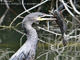 Neotropic-cormorant-