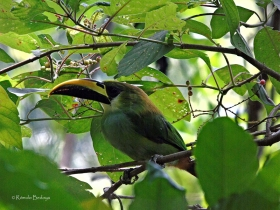 Northern Emerald Toucaned