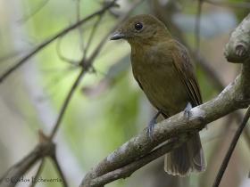 Northern Schiffornis-estacion-biologica-las-guacamayas
