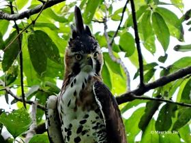 Ornate-Hawk Eagle