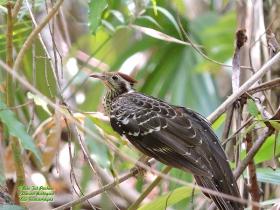 Pheasant Cucko-Dromococcyx phasianellus-estacion-biologica-las-guacamayas