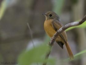 Ruddy-tailed Flycatcher-estacion-biologica-las-guacamayas