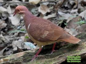 Ruddy Quail-Dove-estacion-biologica-las-guacamayas