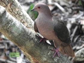 Short-billed Pigeon-estacion-biologica-las-guacamayas