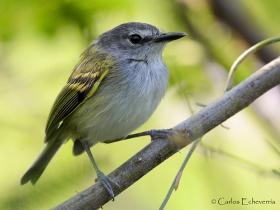 Slate-headed Tody-Flycatcher-estacion-biologica-las-guacamayas