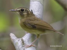 Stub-tailed Spadebill-estacion-biologica-las-guacamayas