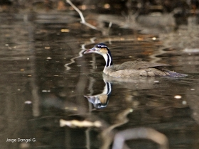 Sungrebe
