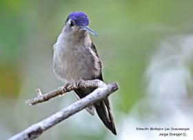 Wedge-tailed-Sabrewing