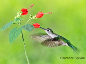 Wedge-tailed Humminbird1