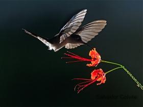 Wedge-tailed Humminbird