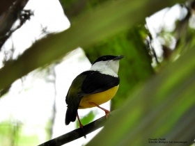 white-collared-manakin