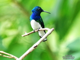 White-necked-Jacobin