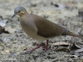 White-tipped Dove-estacion-biologica-las-guacamayas