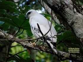 White Hawk-estacion-biologica-las-guacamayas