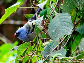 Yellow-winged-tanager