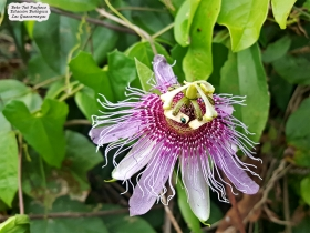 Passiflora mayarum