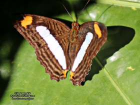 Adelpha iphicleola