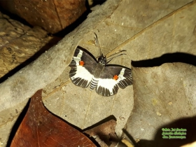 Atarnes sallei-Orange- spotted skipper