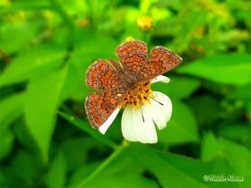 Bright Scintillant-Calephelis sp