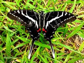 Dark Kite-Swallowtail-Eurytides philolaus