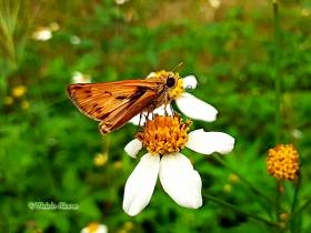 Fairy Skipper-Hylephila phyleus