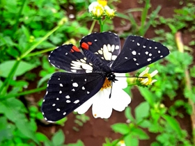 Guatemalan patch-Chlosyne erodyle