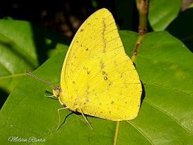 Large Orange Sulphur-Phoebis agarithe