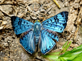 Lasaia agesilas-Black-patched-Bluemark